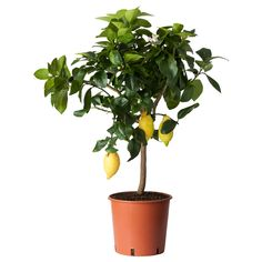 CITRUS Potteplante - IKEA