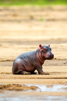 baby rhino <3... No no previous pinner, that's a baby Hippopotamus! :-) lol cuteeeeeeeee