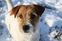 Dogs#Jack Russell Terriër#Jack Beauty Givenchy (Jack Beauty kennel)