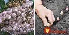 Cenná rada pre dopestovanie bohatej úrody cesnaku! Herb Garden, Herbs, Gardening, Fruit, Floral, Flowers, Outdoor, Vegetables, Belle