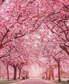 Pink christmas tree wallpaper iphone cherry blossom elegant new best trees ideas on of wallpape . pink and green palm tree wallpaper cherry blossom Garden Types, Love Pictures, Beautiful Pictures, Spring Pictures, Beautiful World, Beautiful Places, Wonderful Places, Beautiful Scenery, Stunning View