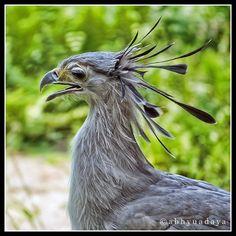 Secretary Bird (Sagittarius serpentarius) - juvenile bird.