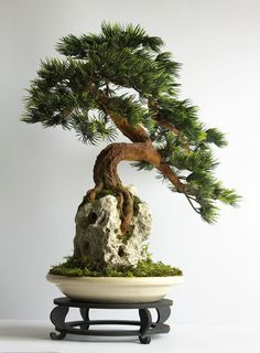 Bonsai zokei pine. A tree made in Sekijōjū style