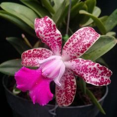 Cattleya Thospol Spot is a hybrid between Cattleya Bhimayothin × Cattleya aclandiae. Orchids Garden, Orchid Plants, Cattleya Orchid, Plants Online, Amazing Flowers, Bloom, Photos, Top, Pictures