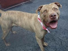 SAFE !  Manhattan Center    KING - A0993240  *** RETURNED ON 4/13/14 ***   NEUTERED MALE, Y BRINDLE / WHITE, PIT BULL MIX, 3 yrs  OWNER SUR - EVALUATE, HOLD FOR ID  Reason COST   Intake condition NONE Intake Date 04/13/2014, From NY 10454, DueOut Date 04/20/2014