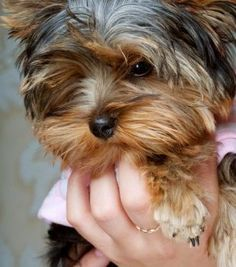 how to care for Yorkie puppies