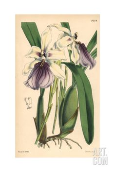 Showy Miltonia Orchid, Miltonia Spectabilis Giclee Print by Walter Hood Fitch at Art.com