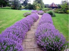 Lavender-edged paver garden path