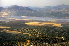 El olivo fue excepcional testigo de la vida de Jesucristo, que lloró y rezó en el Huerto de los Olivos.