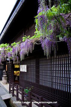 wisteria, Takayama,Japan