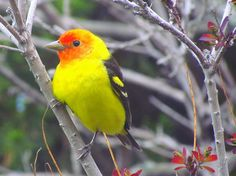 The Western Tanager, My Yellow Bird by carliewired, via Flickr