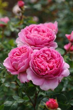 Princess Alexandra of Kent - David Austin English Rose