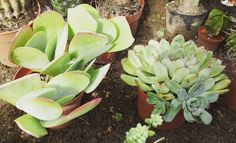 #succulents #echeveria
