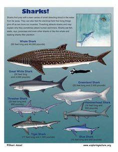 http://www.exploringnature.org/graphics/biomes/sharks72.jpg