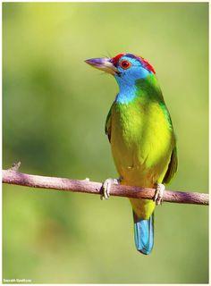 Blue-throated Barbet by  Saurabh Upadhyay