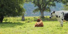 Vest-Sverige har dyreparker for alle - Ferie i Sverige Cow, Barn, Animals, Converted Barn, Animaux, Animales, Cattle, Animal, Sheds