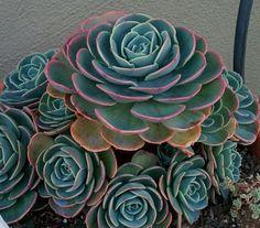 "Echeveria imbricata (""Blue rose"")"