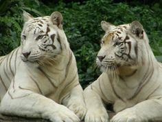 White tigers Singapore zoo Beautiful Cats, Animals Beautiful, Cute Animals, Singapore Zoo, Sister Poses, Lazy Cat, White Tigers, Small Cat, Mundo Animal
