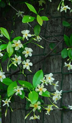 jasmine vine along covered patio posts/ ATTRACTS: Hummingbirds. This climbing Jasmine will rapidly wrap around supports. Plant alone. Plant as a background. Buy potted plants that are twice the height of their container in early Spring. Fragrant. Plant Pansies nearby which also attract Hummingbirds.