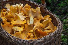 Sienet - kantarelli Edible Mushrooms, Dried Mushrooms, Stuffed Mushrooms, Growing Mushrooms, Chanterelle Mushroom Recipes, Maitake Mushroom, Health Benefits Of Mushrooms, Mushroom Benefits, Fungi