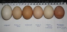 Leghorn, Plymouth Rock, Australorp, Rhode Island Red, etc., eggs labeled by breed