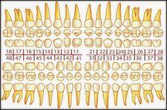 Norma Técnica del Odontograma | OVI Dental Dental Life, Dental Teeth, Dental Hygienist, Dental Implants, Dental Assistant Study, Dental Anatomy, Medical Anatomy, Coconut Oil For Teeth, Dental Facts