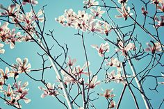 Magnolia Beauty by Svetlana Yelkovan #SvetlanaYelkovanFineArtPhotography #Magnolia #ArtForHome #FineArtPrints #Landscape #Flowers #Spring #Blue