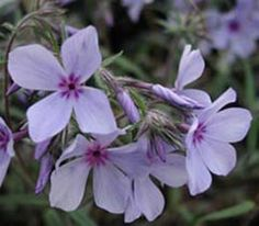 Phlox divaricata - nach der Blüte zurückschneiden