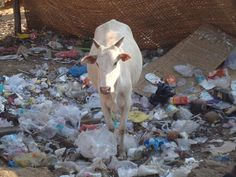 HOLY COW!plastic pollution in India!