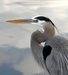 The Great Blue Heron is the Native American messenger of self-determination and self-reliance.