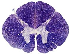 The Human Spinal Cord in Cross Section with the gray matter butterfly In the middle