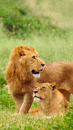 lion, lioness, couple, grass, lie, predators
