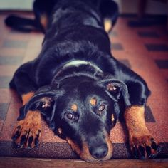Beauceron puppy Chimay Puppies, Pets, Animals, Love My Dog, Dogs, Cubs, Animales, Animaux, Animal