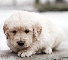 free-ads.eu - Dogs - Puppies classifieds: Golden Retriever puppies for sale - Australia