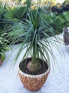 Outdoor Landscaping, Outdoor Plants, Air Plants, Ponytail Palm Care, Unique Plants, Succulents Garden, Plant Care, Houseplants, Perennials