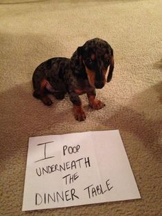 Dog shaming this sweet but naughty lil pup - Dachshunds - Puppies Doxie Puppies, Weenie Dogs, Dachshund Love, Cute Puppies, Daschund, Doggies, Funny Dogs, Funny Animals, Cute Animals