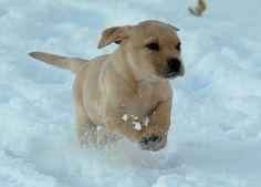 Eppie the Labrador Retriever