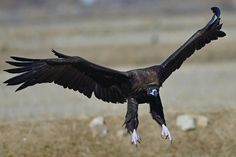 Cinerous Vulture by Young Sung Bae on 500px