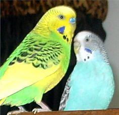 Bird Perches, Parrot Gyms, Bird Stands, PVC Car, Shower Perch Parrot Perch Diy, Bird Perch, Parrot Stand, Bird Stand, Cockatiel, Parakeet, Birds, Shower, Pets