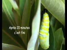 vidéo du cycle de la vie du papillon ecole.wmv - YouTube