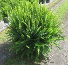 kimberly queen fern...my favorite