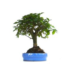 https://i.pinimg.com/236x/1a/75/b8/1a75b8a12ea3c7413b441f8465543349--ligustrum-trees.jpg