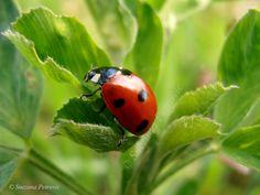 Photo Ladybug by Snezana Petrovic on 500px, 99.5