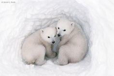 bear cubs, twins