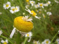 Fasciated daisy. Fasciation describes plants that are abnormally compressed into a band or bundle, as stems grown together.