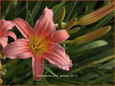 Hemerocallis 'Pink Damask' | Daglelie jun au 80 z hs n