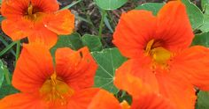 Orange Nasturtiums Go, you lovely orange things! They may be humble, but orange common-garden Nasturtiums are brilliant for a patch of bright, bilious colour. They are a great contrast with a neatly mown, lush green lawn. These bright annual flowers self seed every year.