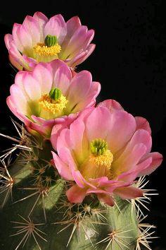 Echinocereus triglochidiatus、kingcup cactus, claretcup, or Mojave mound cactus Cacti And Succulents, Planting Succulents, Cactus Plants, Planting Flowers, Cactus With Flowers, Indoor Cactus, Propagating Succulents, Cactus Art, Desert Flowers