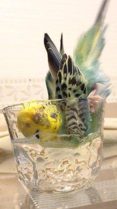 So cute parakeet bathing in a cup!
