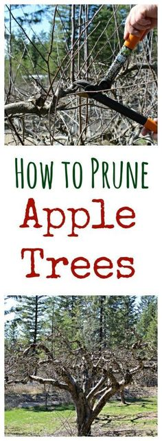 Prune your own apple trees….it's not as hard as you think! Do you have apple trees? Then they need to be pruned annually. Hiring someone to do this task just doesn't make sense, when you can do it yourself. My husband Rod does all our pruning and prunes Prune Fruit, Pruning Fruit Trees, How To Prune Trees, Apple Tree Pruning, Planting Apple Trees, Pruning Shrubs, Tomato Pruning, Tomato Plants, Apple Tree Care